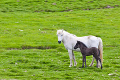 Icelandic horse with her colt. Northen Iceland, Europe Stock Photos