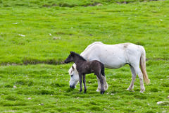 Icelandic horse with her colt Stock Photo
