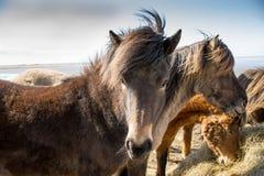 Icelandic Horse. S eating hay. Travel Stock Photo