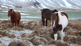 Icelandic horse stock video