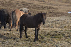 Icelandic Horse on a Iceland Farm. Icelandic horse farm with horses in a field Stock Photography
