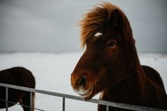 An Icelandic horse stock images