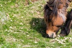 Icelandic Horse III Stock Photos