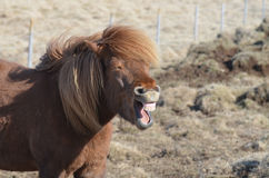 Icelandic Horse Laughing in a Funny Way stock image