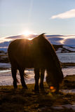 Icelandic Horse with a lens flare Stock Images