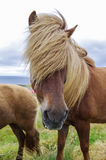 Icelandic horse with long mane close-up. Royalty Free Stock Photography