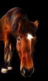 Icelandic Horse. Is looking at you Stock Images