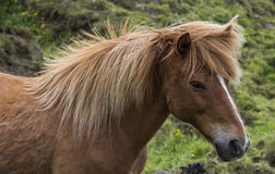 Icelandic Horse with Manes. Icelandic Horse with great manes on a meadow on Iceland Stock Photography