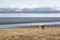 An Icelandic Horse. Near a water body in South Iceland Stock Photos