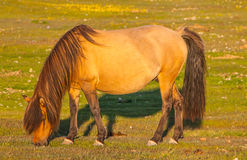 Icelandic Horse Royalty Free Stock Photography