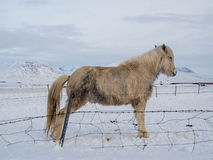Icelandic horse is peeing on the snow Royalty Free Stock Image