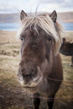 Icelandic horse. (pony) in winter costume Royalty Free Stock Photography