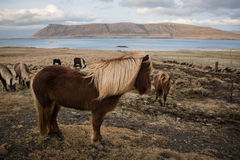 Icelandic horse. (pony) in winter costume Stock Photography
