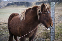 Icelandic horse. (pony) in winter costume standing by a fence Royalty Free Stock Photos