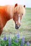 Icelandic horse portrait Stock Photos