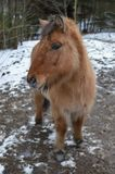 Icelandic horse portrait, horses farm, Kolmarden, Ostergotland,Sweden. Beautiful portrait of a young iclandinc horse during a winter day in Kolmarden Stock Image