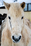 Icelandic horse. A portrait of an Icelandic horse, Iceland Stock Photography