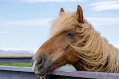 Icelandic horse stock photography