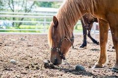 Icelandic horse Royalty Free Stock Photography