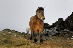 Icelandic horse portrait. Stock Image