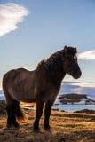 Icelandic Horse portrait at sunset Royalty Free Stock Photos