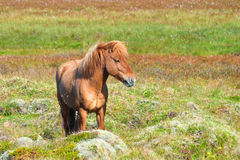 Icelandic Horse. Red Icelandic horse with red mane Stock Image