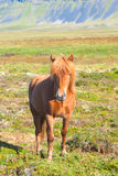 Icelandic Horse. Reddish Icelandic horse in the field of grass Stock Images