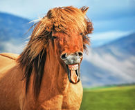 Icelandic horse smiling royalty free stock photos