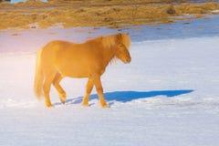 Iceland farm animal in winter season. Icelandic horse on snow, Iceland farm animal in winter season Stock Photography