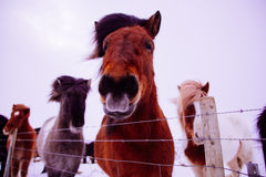 Icelandic horse in snow landscape Stock Photos