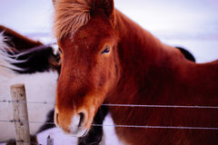 Icelandic horse in snow landscape Royalty Free Stock Photos
