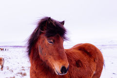 Icelandic horse in snow landscape Stock Photography