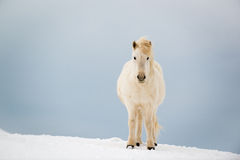Icelandic horse on the snow in winter, Iceland. White Icelandic horse on the snow in winter, Iceland Royalty Free Stock Photo