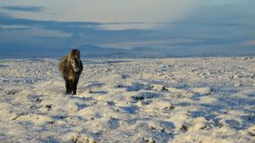 Do you fancy a walk through a lava field?. The Icelandic horse on a snowy lava field in the south of Iceland stock images