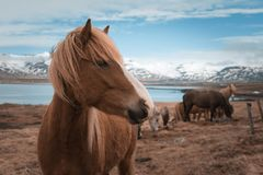 Icelandic horse with snowy mountains in Eyjafjordur stock photo