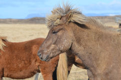 Icelandic Horse with a Spikey Forelock Royalty Free Stock Photo