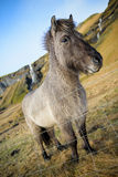 Icelandic horse standing near waterfall Royalty Free Stock Photography