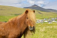 Icelandic Horse On A Summer Meadow, Mountain And Saksun Village stock image