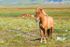 Icelandic Horse. On a summer pasture Stock Photography