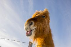 Icelandic horse on a sunny day with a clear blue sky. A curios and nice Icelandic horse on a sunny day with a clear blue sky Stock Photos