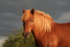 Icelandic horse while sunset Royalty Free Stock Photo