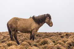 Icelandic horse in wet snowy weather in grassland of the same brown color. Icelandic horse standing in wet snowy weather in grassland of the same brown color Royalty Free Stock Photography