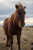 Icelandic horse in the wild sunset royalty free stock image