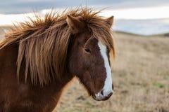 Icelandic horse in the wild sunset Stock Image