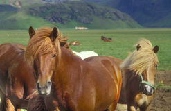 Icelandic horses. On field near the town of Vik Royalty Free Stock Image