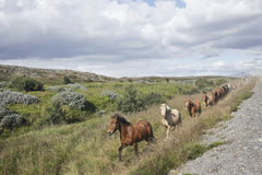 Icelandic Horses. Running free by the side of the road in Southwestern Iceland Royalty Free Stock Photo