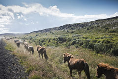 Icelandic Horses. Running free by the side of the road in Southwestern Iceland Royalty Free Stock Photography