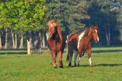 Icelandic horses. Two islandic horses running over the pasture stock photo