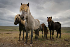 Icelandic horses. Four icelandic horses under a dramatic sky Royalty Free Stock Photo