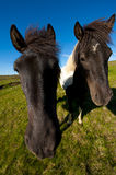 Icelandic horses Royalty Free Stock Photography